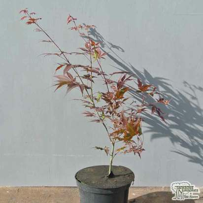 Buy Acer palmatum Atropurpurea (Japanese Maple) online from Jacksons Nurseries