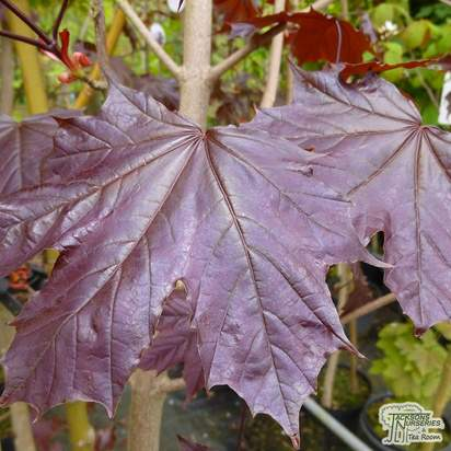 Buy Acer platanoides Crimson King (Norway Maple) online from Jacksons Nurseries