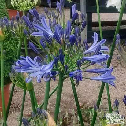 Buy Agapanthus campanulatus 'Jacks Blue' (African Lily) online from Jacksons Nurseries