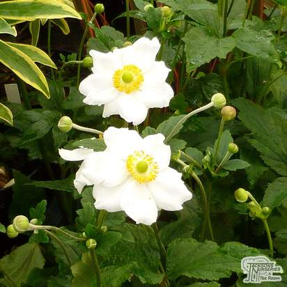 Buy Anemone x hybrida Honorine Jobert online from Jacksons Nurseries