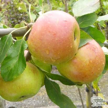 Buy Apple domestica Charles Ross online from Jacksons Nurseries