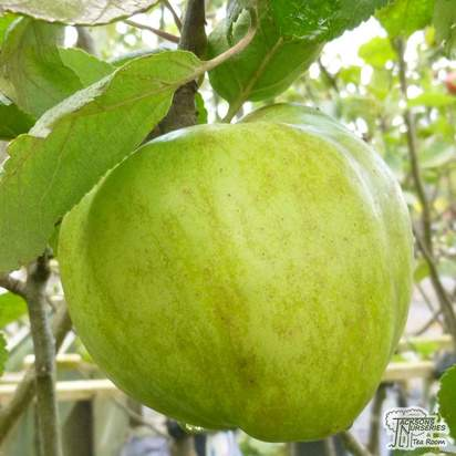 Buy Apple domestica Grenadier online from Jacksons Nurseries