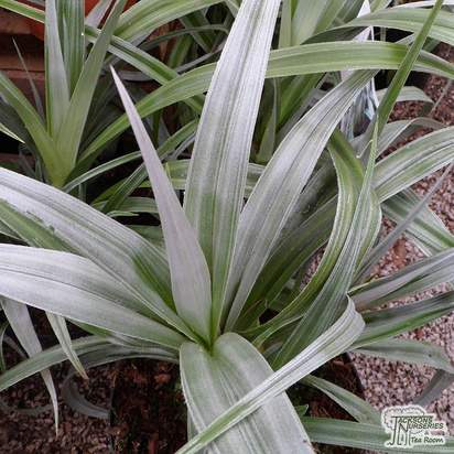 Buy Astelia 'Silver Shadow' (Silver Flax) online from Jacksons Nurseries.