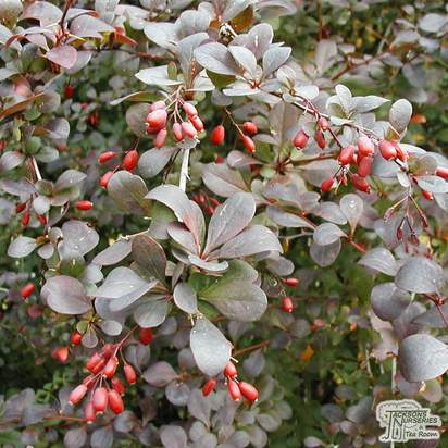 Buy Berberis thunbergii (Japanese Barberry) online from Jacksons Nurseries