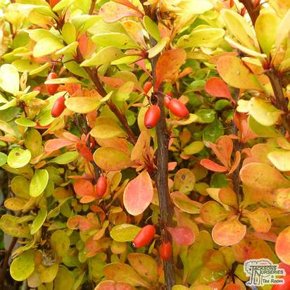 Buy Berberis thunbergii 'Orange Rocket' (Japanese barberry) online from Jacksons Nurseries. Guaranteed best value plants, low plant prices with fast UK delivery.