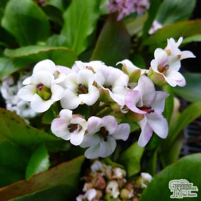 Buy Bergenia 'Bressingham White' (Elephant's Ears) online from Jacksons Nurseries.