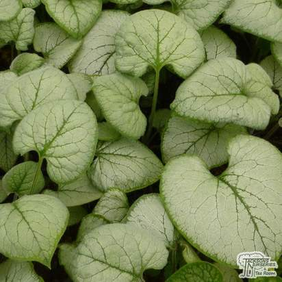Buy Brunnera macrophylla Looking Glass (Siberian bugloss) online from Jacksons Nurseries