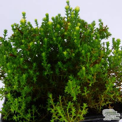 Buy Calluna Vulgaris 'Easter-Bonfire' (Heather) online from Jacksons Nurseries.
