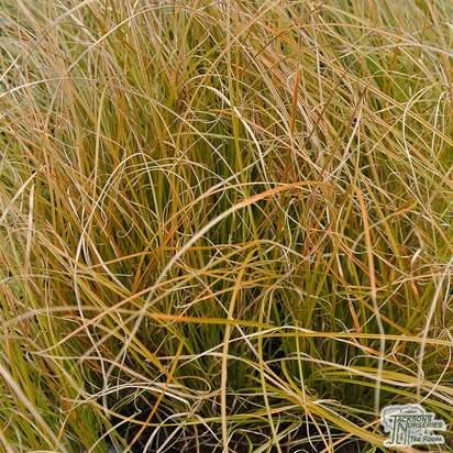 Buy Carex testacea online from Jacksons Nurseries
