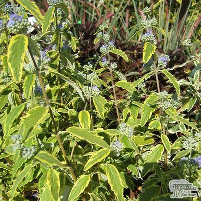 Buy Caryopteris x clandonensis Summer Sorbet (Bluebeard Lilac) online from Jacksons Nurseries