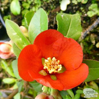 Buy Chaenomeles x superba Crimson and Gold online from Jacksons Nurseries