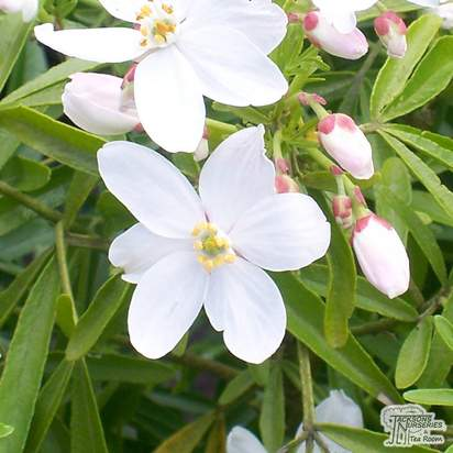 Buy Choisya x dewitteana Aztec Pearl (Mexican Orange Blossom) online from Jacksons Nurseries