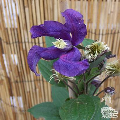 Buy Clematis Blue Pirouette online from Jacksons Nurseries