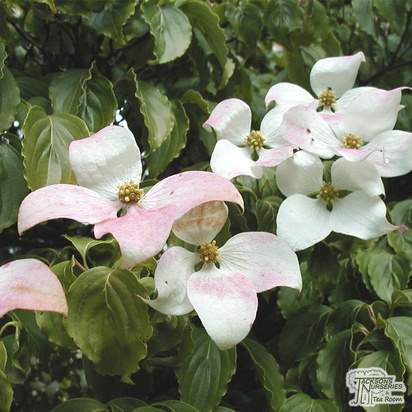 Buy Cornus kousa var. chinensis (Chinese Dogwood) online from Jacksons Nurseries