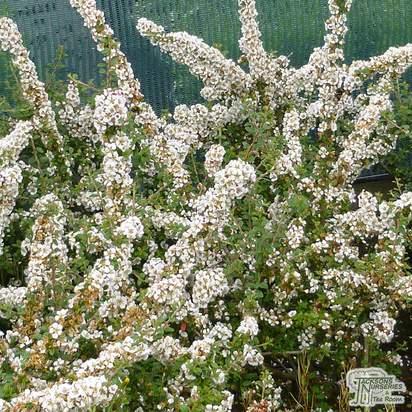 Buy Cotoneaster conspicuus Decorus (Cotoneaster) online from Jacksons Nurseries.