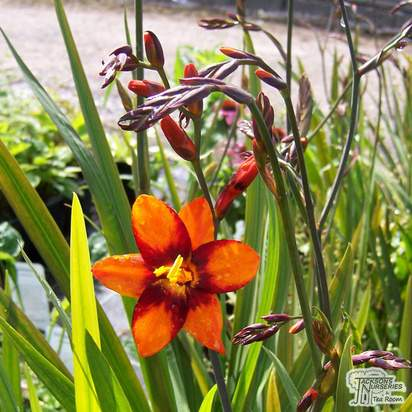 Buy Crocosmia x crocosmiiflora Emily McKenzie (Montbretia) online from Jacksons Nurseries