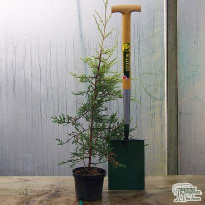 Buy Cupressocyparis leylandii Castlewellan Gold online from Jacksons Nurseries