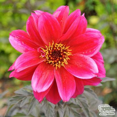 Buy Dahlia 'Engelhardt's Matador' online from Jacksons Nurseries.