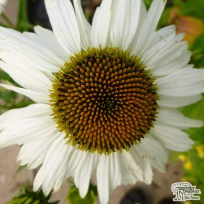 Buy Echinacea purpurea 'Crazy White' (Coneflower) online from Jacksons Nurseries.