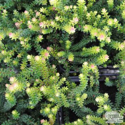 Buy Erica x stuartii 'Irish Orange' (Heather) online from Jacksons Nurseries.