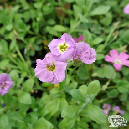 Buy Erodium 'Bishop's Form' (Dwarf Heronsbill) online from Jacksons Nurseries.
