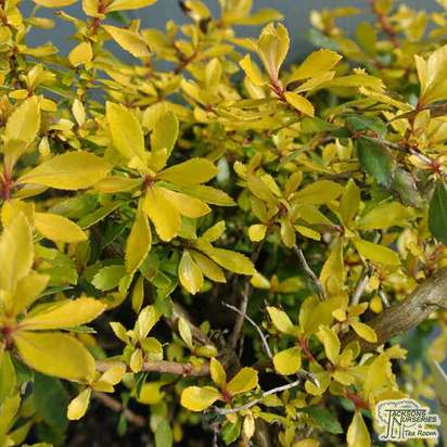 Buy Escallonia Golden Carpet online from Jacksons Nurseries.