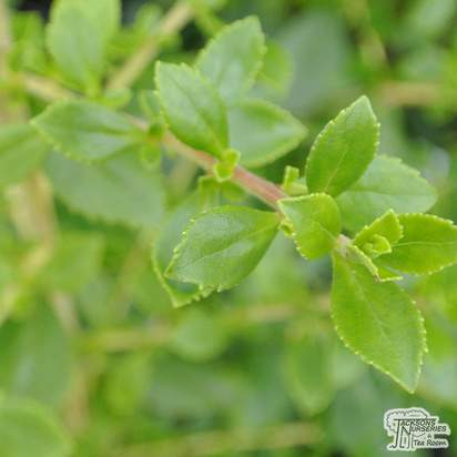 Buy Escallonia Apple Blossom (Escallonia) online from Jacksons Nurseries