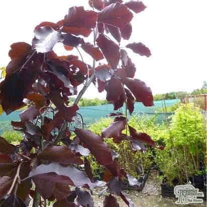 Buy Fagus sylvatica Purpurea Pendula  (Beech) online from Jacksons Nurseries