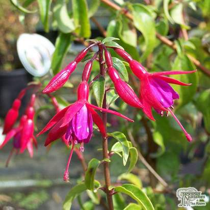 Buy Fuchsia magellanica (Lady's Eardrops) online from Jacksons Nurseries.