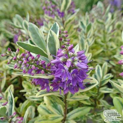 Buy Hebe x franciscana Variegata syn Silver Queen online from Jackson's Nurseries.
