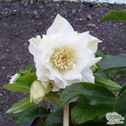 Buy Helleborus 'Double Queen Mixed' (Lenten rose) online from Jacksons Nurseries.