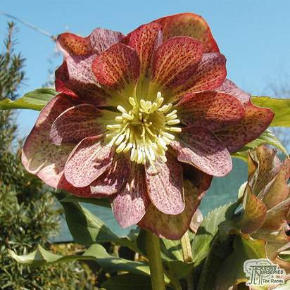 Buy Helleborus x hybridus (Lenten Rose) online from Jacksons Nurseries