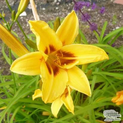 Buy Hemerocallis 'Bonanza' (Daylilly) online from Jacksons Nurseries
