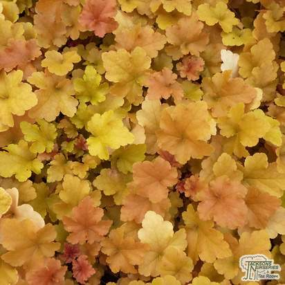 Buy Heuchera 'Autumn Glow' (Coral Bells) online from Jacksons Nurseries.