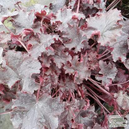 Buy Heuchera (Black Beauty)  online from Jacksons Nurseries.