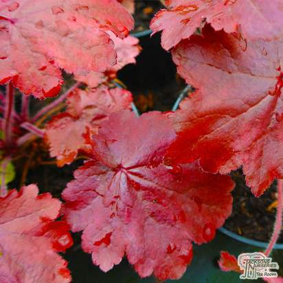 Buy Heuchera 'Cherry Cola' (Coral Bells) online from Jacksons Nurseries.