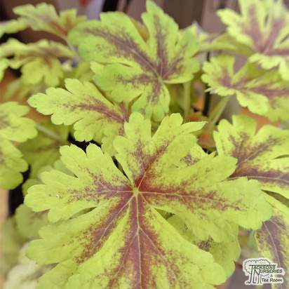 Buy Heucherella 'Gold Zebra' (COMMON NAME) online from Jacksons Nurseries.
