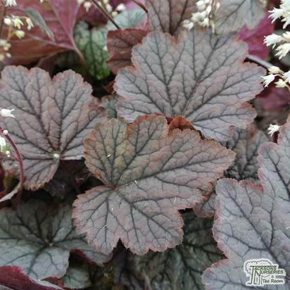 Buy Heucherella 'Twilight' (Foamy Bells) online from Jacksons Nurseries.
