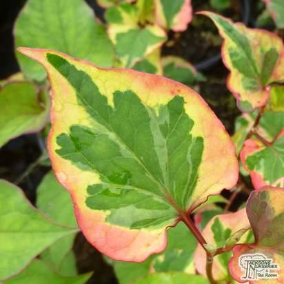 Buy Houttuynia cordata Chameleon (Chameleon Plant) online from Jacksons Nurseries.