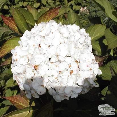 Buy Hydrangea macrophylla Madame Emile Mouillere (Hydrangea Mophead) online from Jacksons Nurseries