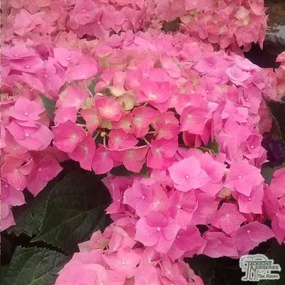 Buy Hydrangea macrophylla Bouquet-Rose (Hydrangea Mophead) online from Jacksons Nurseries