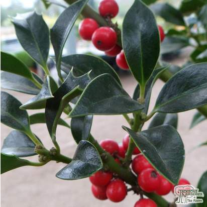 Buy Ilex aquifolium Alaska (Holly) online from Jacksons Nurseries