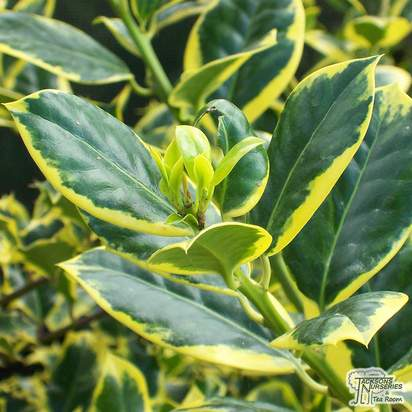 Buy Ilex aquifolium 'Golden van Tol' (Holly) online from Jacksons Nurseries