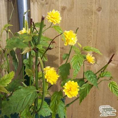 Buy Kerria japonica Pleniflora (Double Kerria) online from Jacksons Nurseries