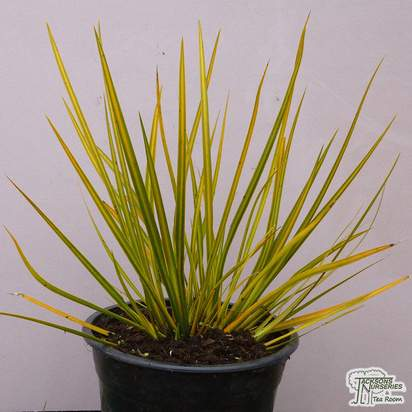 Buy Libertia ixioides 'Goldfinger' (New Zealand Iris) online from Jacksons Nurseries.
