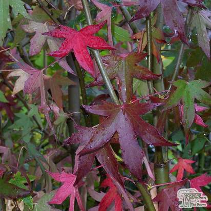 Buy Liquidambar styraciflua Worplesdon online from Jacksons Nurseries
