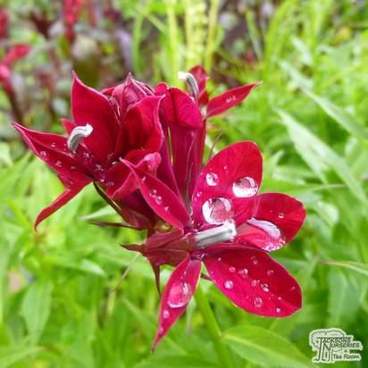 Buy Lobelia speciosa 'Crimson Princess' online from Jacksons Nurseries.