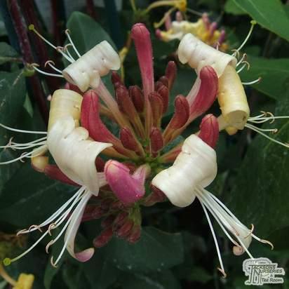 Buy Lonicera periclymenum Serotina online from Jacksons Nurseries