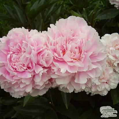 Buy Paeonia lactiflora Sarah Bernhardt (Peony) online from Jacksons Nurseries