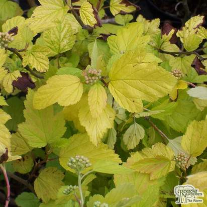 Buy Physocarpus opulifolius 'Dart's Gold' (Ninebark) online from Jacksons Nurseries.